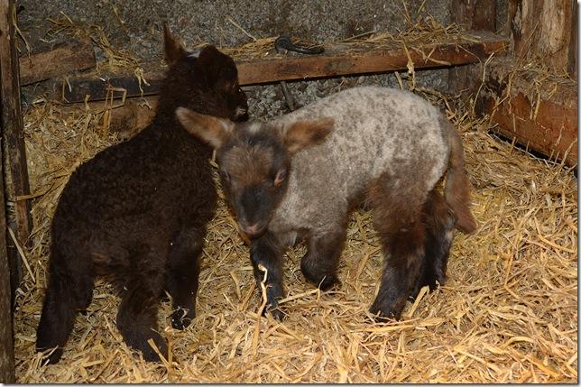 Caddy lambs