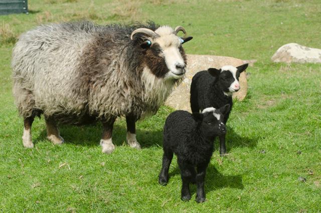 Lambs 2017-10