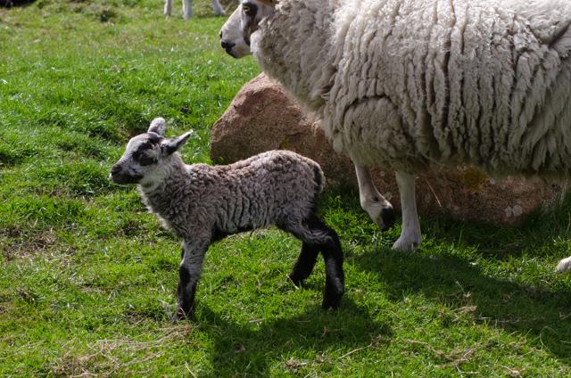 Lambs 2017-2