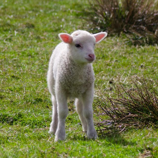 Lambs 2017-3