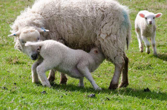 Lambs 2017-4