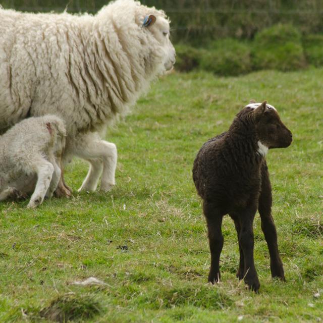 Lambs 2017-5
