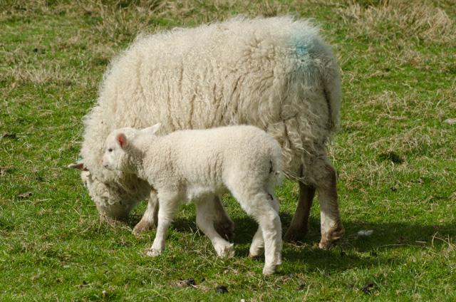 Lambs 2017-8