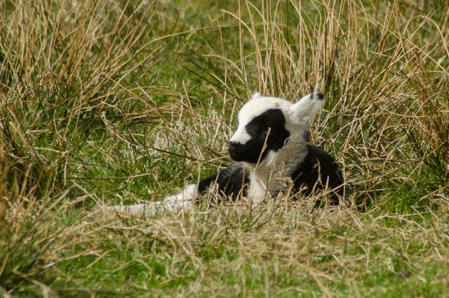 Lambs 2017-9