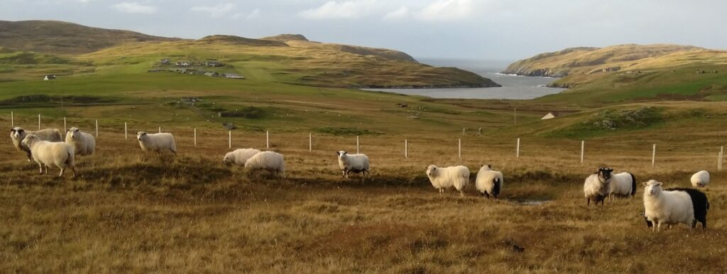 Some of the Toam flock of Shetland sheep at the topof the croft
